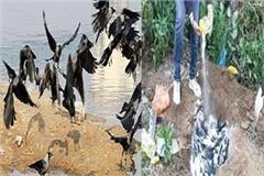 shivraj government in confusion over bird flu