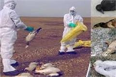 13 birds killed in jalaun bird flu is feared