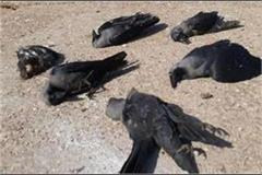 reports of birds found dead in the hawani of sundernagar negative