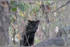mowgli s friend bgeera seen in pench forests in seoni