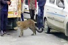leopard in tirthan valley