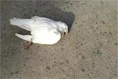 bird flu pigeon suddenly fell on the ground from the sky death
