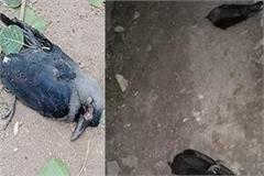 the process of death of crows started from rajasthan reached mp