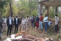 tigers now hunted after leopards