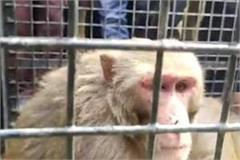 man eater monkey imprisoned by anti rescue team including villagers relief