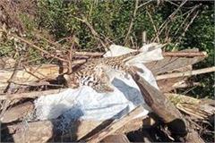 leopard cub found dead in palampur