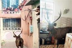 reindeer strayed from the forest and entered the house