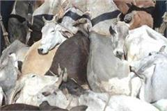 truck full of animals overturns 1 animal killed and many injured