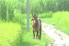 farmer guarding crops in jaunpur dies due to bull attack