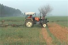 farmer drive tractor on standing crop in ambala