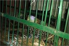 leopard enters house chasing pet dog