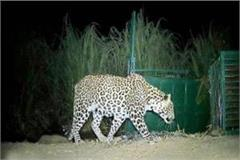 synonymous with panic made leopard was caught on camera