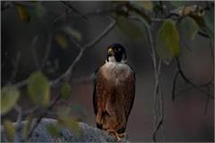 peregrine falcon bird found in panna tiger reserve