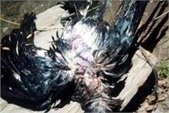2 crows found dead in recongpeo