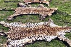 2 arrested with leopard skins