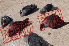bird flu in dead crows in nadaun