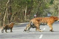 tourists visiting the forests to see the tigress along with the cubs on the road