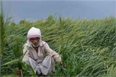 farmers crop wasted due to unseasonal rains and hailstorm