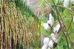 cotton and paddy procurement on msp punjab sets new record