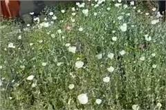 police raided and recovered 2200 opium plants from the house