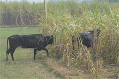 up farmers are worried about stable cane price rising diesel prices
