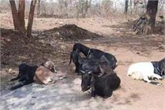 now goat s mysterious disease scares people