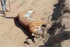 tiger s tragic death trapped in the current 220 volts of poachers