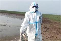 5 foreigner birds found dead in pong lake