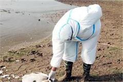 11 foreigner birds found dead in pong lake