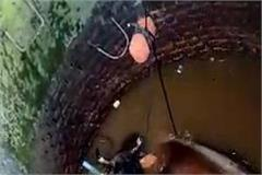 the destitute bull fell in the well pulled out after hard labor