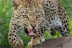 leopard panic in kushinagar due to terror 6 injured