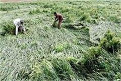 the rain became a relief for farmers due to heat