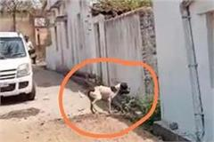 dogs in batul scrambled and ate the carcasses