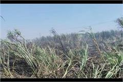 due to short circuit 3 acre crop of farmer burnt
