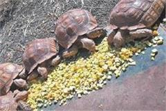 5 african turtles caught by smugglers will be used to entertain tourists