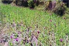 opium farming busted in sainj