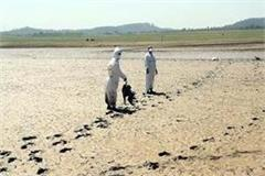 second wave of bird flu in pong lake