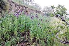 police destroy opium farming in aani