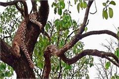 leopard s body found dead on tree