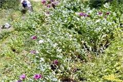 opium farming in nirmand of aani