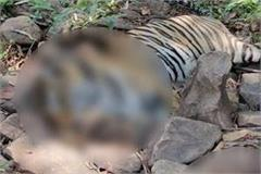 another tigress killed in panna tiger reserve