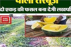mp s graduate farmer grows yellow watermelon