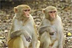 shimla monkey kill ban