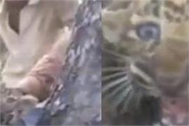 gujarat leopard video viral