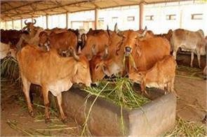 cows-death