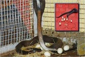 viral video of cobra snake in sagar
