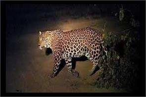 man eater leopard killed in reasi