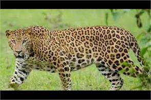 feared from leopard people protest in chanderkot