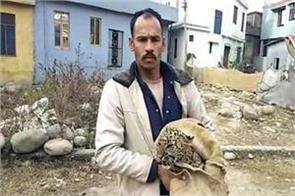 leopard baby caught alive in rajouri