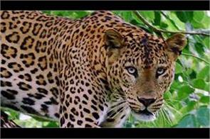 leopard killed 10 years old in reasi